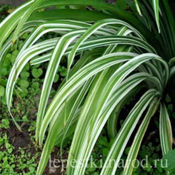 Квансо вариегата куст kwanso variegata bush